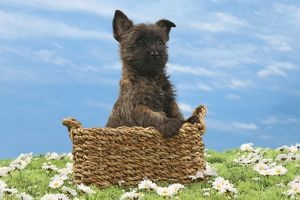 Dog - 8 week old Cairn Terrier puppy in basket