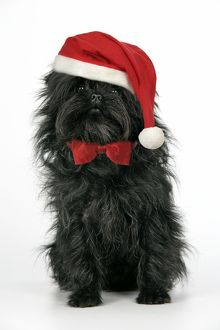DOG. Affenpinscher - wearing Christmas hat & bow tie