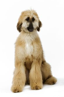 Dog - Afghan Hound. Also know as Tazi