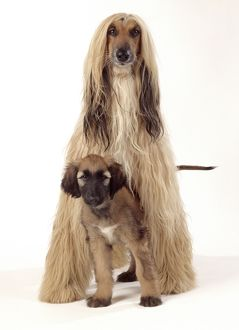 DOG - Afghan Hound and puppy, studio shot