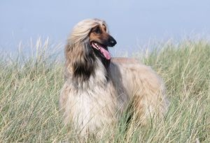 DOG - AFGHAN HOUND STANDING IN GRASS