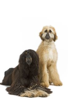Dog - Afghan Hounds. Also know as Tazi