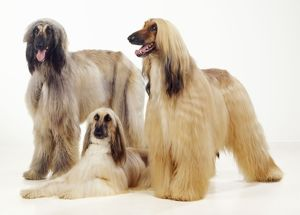 DOG - three Afghan hounds, studio shot