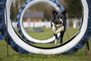 Dog Agility - Border Collie running and jumping through big tyres