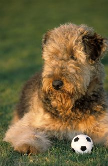 Dog - Airedale Terrier with ball in garden