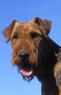 Dog - Airedale TERRIER - close-up of face