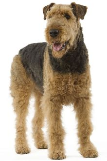 Dog - Airedale Terrier. Also known as Waterside Terrier or Bingley Terrier