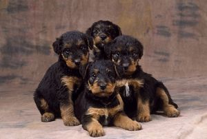 Dog - Airedale Terrier puppies