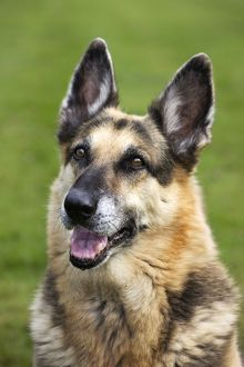 Dog - Alsatian / German Shepherd dog