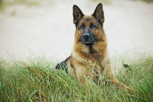 Dog - Alsatian / German Shepherd lying down