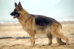 Dog - Alsatian / German Shepherd standing on beach, side view