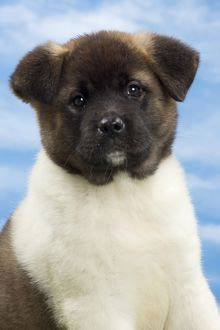 Dog - American Akita puppy 8 weeks old