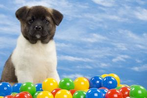 Dog - American Akita puppy 8 weeks old - with coloured balls