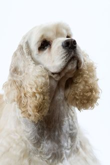 Dog - American Cocker Spaniel