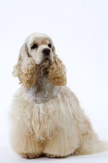 Dog - American Cocker Spaniel, clipped & groomed