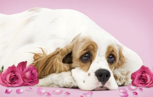Dog - American Cocker Spaniel - with valentine