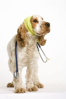 Dog - American Cocker Spaniel wearing bandages with stethoscope around neck