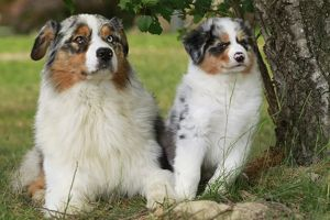 Dog - Australian Sheepdogs / Shepherd Dogs