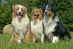 Dog - Australian Shepherd, three