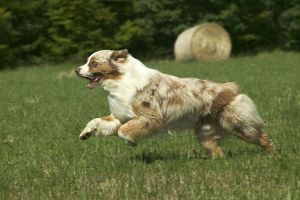Dog - Australian Shepherd, running