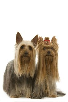 Dog - Australian Silky Terrier with Yorkshire Terrier