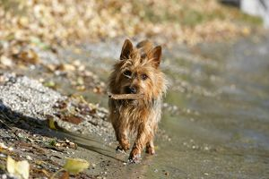 Dog - Australian Terrier at lakeshore, playing with stick
