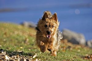 Dog - Australian Terrier running on grass by lake