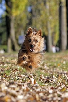 Dog - Australian Terrier running in park