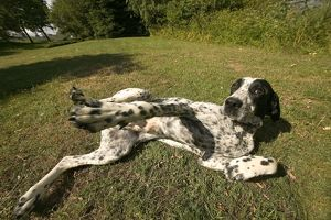 Dog - Auvergne Pointer / Braque d'Auvergne lying showing tummy, waiting for affection