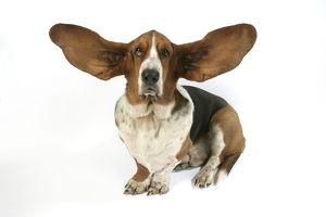 Dog - Basset Hound with ears up