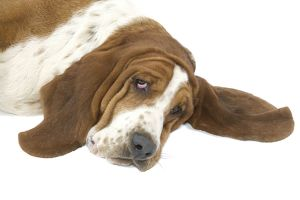 Dog - Basset Hound lying down