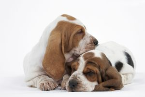Dog - Basset Hound - two puppies lying down together