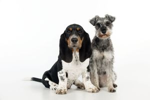 DOG - Basset hound puppy and miniature schnauzer (clipped) sitting together