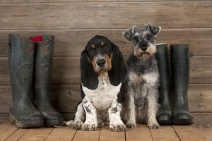 DOG - Basset hound puppy and Miniature Schnauzer (clipped) sitting with wellington boots