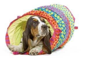 Dog - Basset Hound in studio in brightly coloured bed