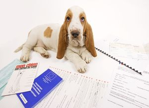 Dog - Basset Hound in studio with documentation including passport & vaccination records