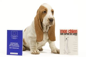 Dog - Basset Hound - in studio with pet passport and vaccination record