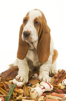 Dog - Basset Hound in studio sitting on a pile of dog treats / bones / chews