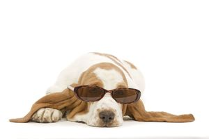 Dog - Basset Hound in studio wearing sunglasses