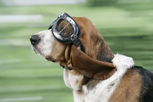 DOG. Basset hound wearing goggles