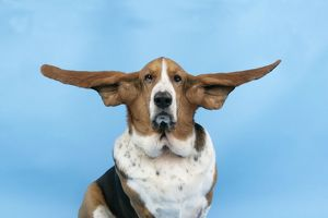 DOG. Basset hound wearing goggles with ears out