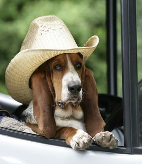 Dog - Basset Hound wearing hat in van