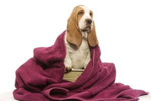 Dog - Basset Hound wrapped in pink towel