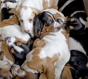Dog - Basset Hounds - group of puppies sleeping