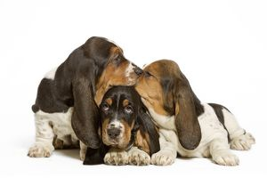 Dog - three Basset Hounds in studio