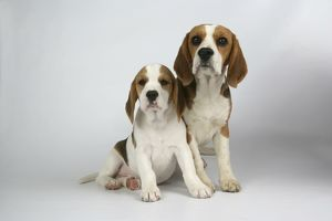 Dog - Beagle Mother and Puppy sitting down