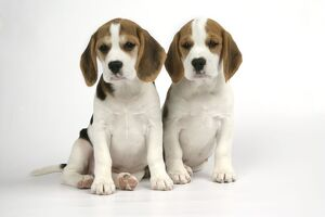 Dog - Beagle Puppies sitting down