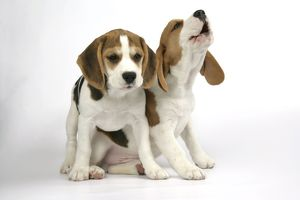 Dog - Beagle Puppies sitting down, one howling.