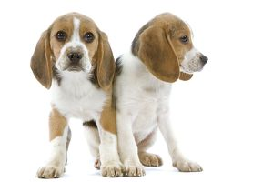 Dog - Beagle puppies in studio
