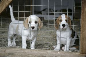 Dog - Beagle Puppies behind wire fence